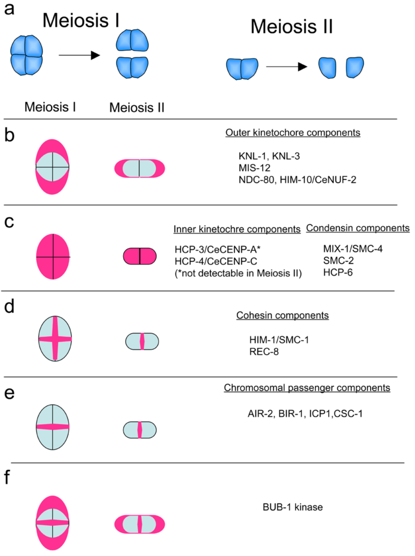 medium resolution of localization of kinetochore components on meiotic chromosomes a schematic showing the meiotic chromosomes during