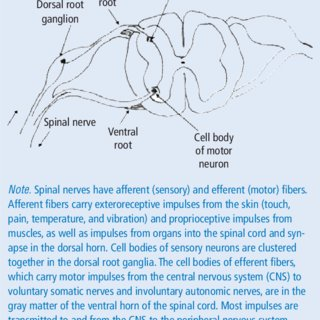 lumbar nerve root diagram marine wind generator wiring dermatomal map download scientific cross section of spinal cord with roots