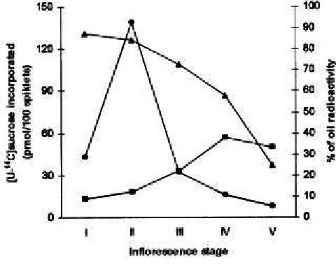 Incorporation of [U-14 C]sucrose into essential oil (q
