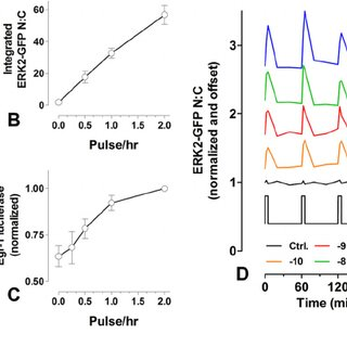 Effects of pulsatile GnRH on ERK2-GFP localization and Egr