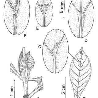 (PDF) Psychotria viridis