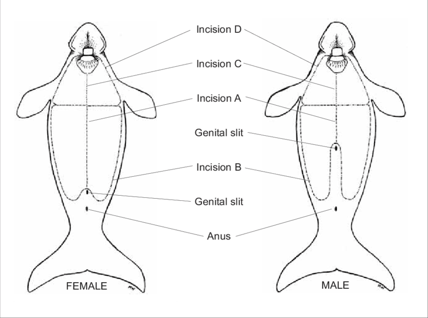 Incisions recommended for dugong necropsy from the ventral