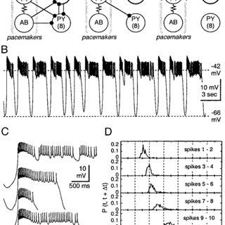 Lateral pyloric (LP) neuron: circuitry and burst dynamics
