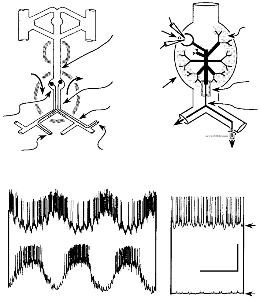 hight resolution of stomatogastric nervous system functional morphology and spontaneous activity of the lateral gastric motor neuron lg and the lateral posterior gastric