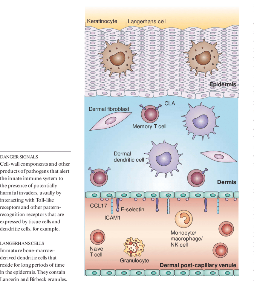 hight resolution of immune response elements in non inflamed skin human skin is composed of