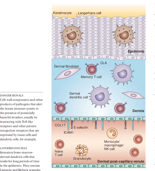 small resolution of immune response elements in non inflamed skin human skin is composed of