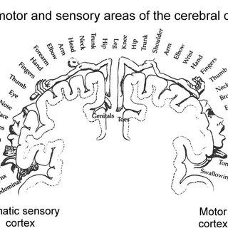 Original illustration of the sensory homunculus by Wilder