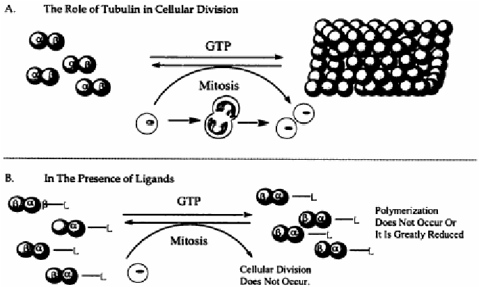 Role of Tubulin in Cell Division and Interaction with