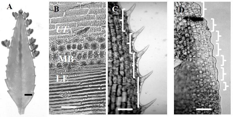 elodea leaf cell diagram story plot worksheet a bryophyllum with marginal plantlets bar is 6 mm b band of ledebouris socialis isodiametric cells between dorsal and ventral