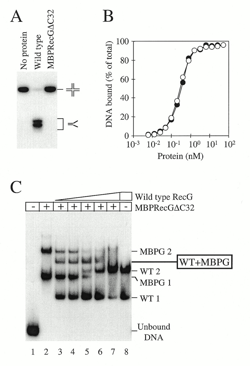 hight resolution of dna binding and unwinding properties of a mbp recg c32 fusion a download scientific diagram