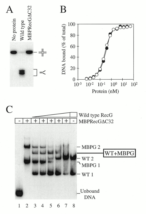 small resolution of dna binding and unwinding properties of a mbp recg c32 fusion a download scientific diagram
