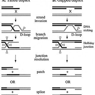 (PDF) Holliday Junction Processing in Bacteria: Insights