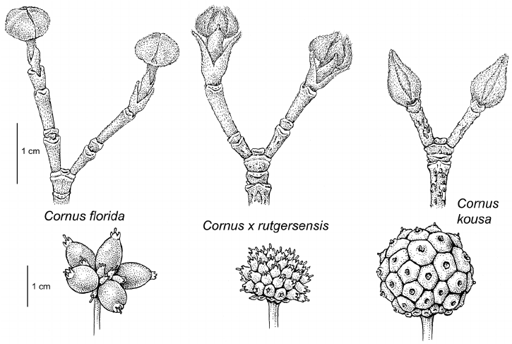 Comparison of flowering bud and fruit development in