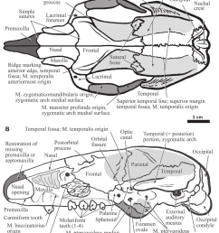 the skull of hapalops dorsal view a and lateral view b  [ 850 x 1082 Pixel ]