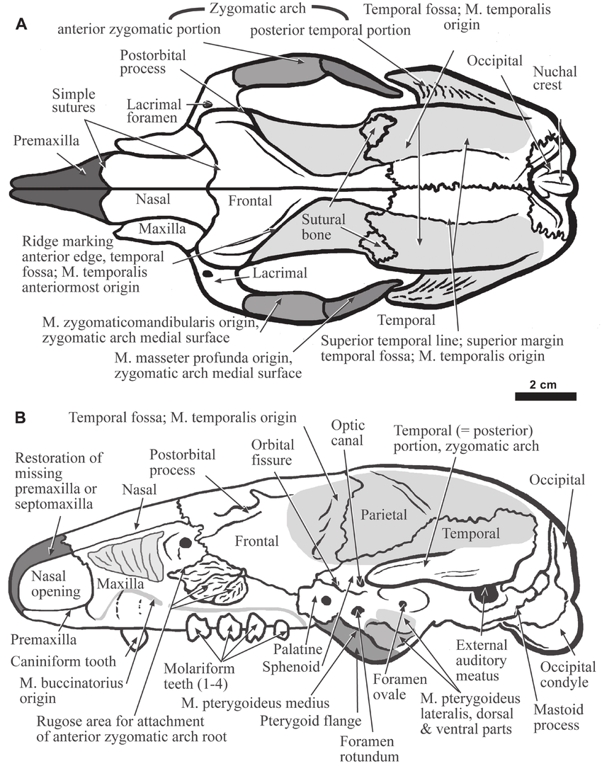 medium resolution of the skull of hapalops dorsal view a and lateral view b