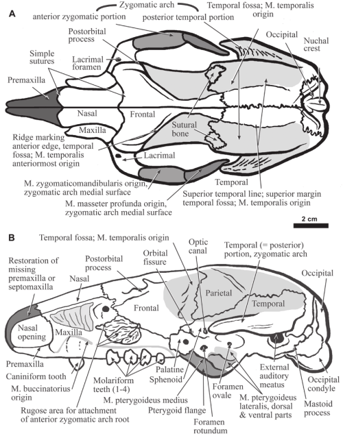 small resolution of the skull of hapalops dorsal view a and lateral view b