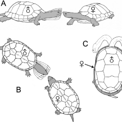 Diagram Turtle S Head Vintage Lamb Butcher Three Types Of Movement Associated With Premounting Courtship Displays In Freshwater Turtles A Bobbing Vibrating The And Neck Vertically