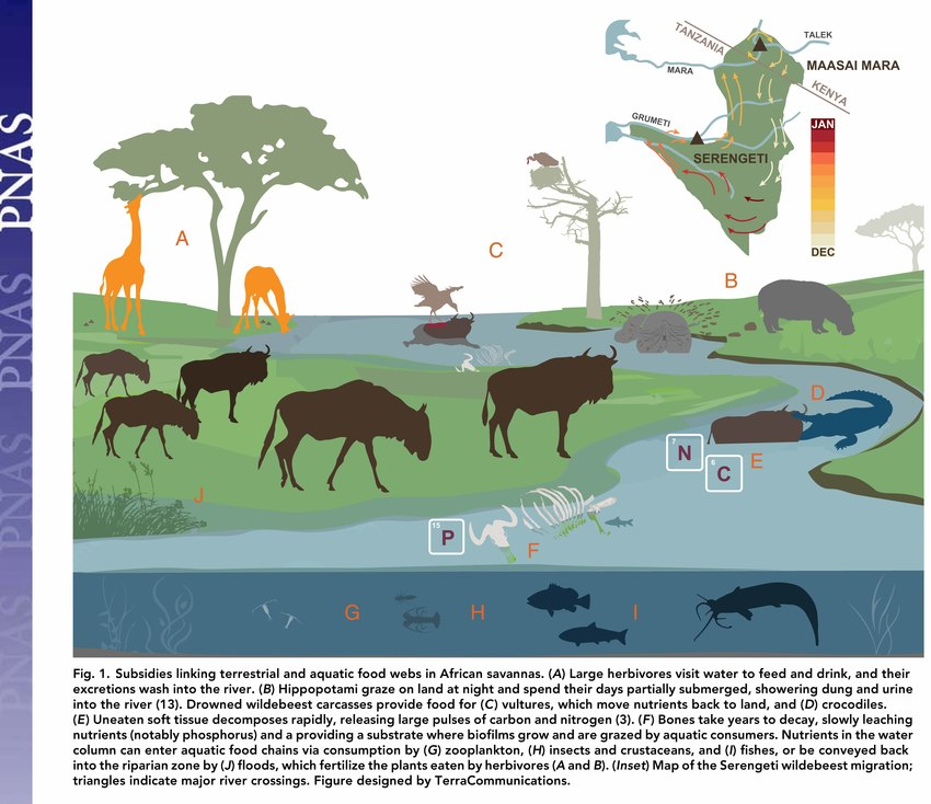 savanna animal food chain diagram embraco compressor wiring subsidies linking terrestrial and aquatic webs in african download scientific