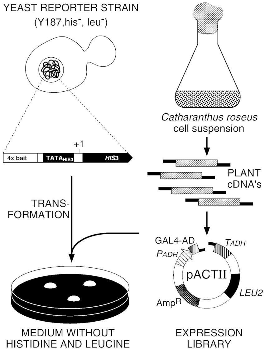 Schematic representation of yeast one-hybrid transcription