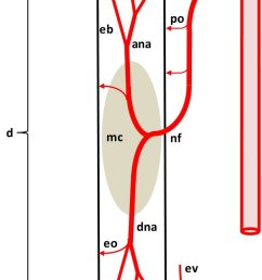 diagram depicting the arterial supply to a growing leg bone the epiphyseal vascular supply  [ 708 x 1730 Pixel ]