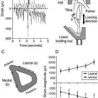 (PDF) Non-invasive axial loading of mouse tibiae increases