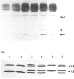 effect of pertussis toxin pretreatment on et 1 and lpastimulated tyrosine phosphorylation of map kinase and pp125 0 in rat 1 fibroblasts cells were  [ 715 x 1525 Pixel ]