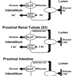 glucose transport across the renal proximal tubule and proximal intestine glucose is transported across the [ 850 x 1130 Pixel ]