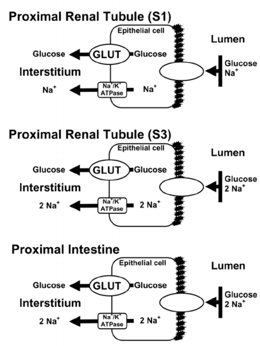 hight resolution of glucose transport across the renal proximal tubule and proximal intestine glucose is transported across the
