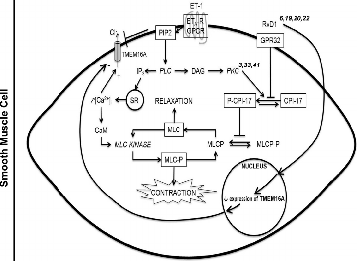 Schematic diagram of the molecular and cellular events