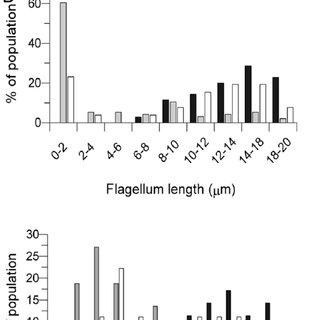 Phospholipid accumulation in Δatg5 promastigotes. Negative