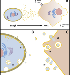 overview of the functional aspects of fungal evs a fungal cells release heterogeneous populations [ 850 x 950 Pixel ]