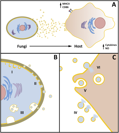 small resolution of overview of the functional aspects of fungal evs a fungal cells release heterogeneous populations