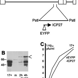 Accumulation of Sp100 isoforms in HEp-2, HEK293, and 293-S