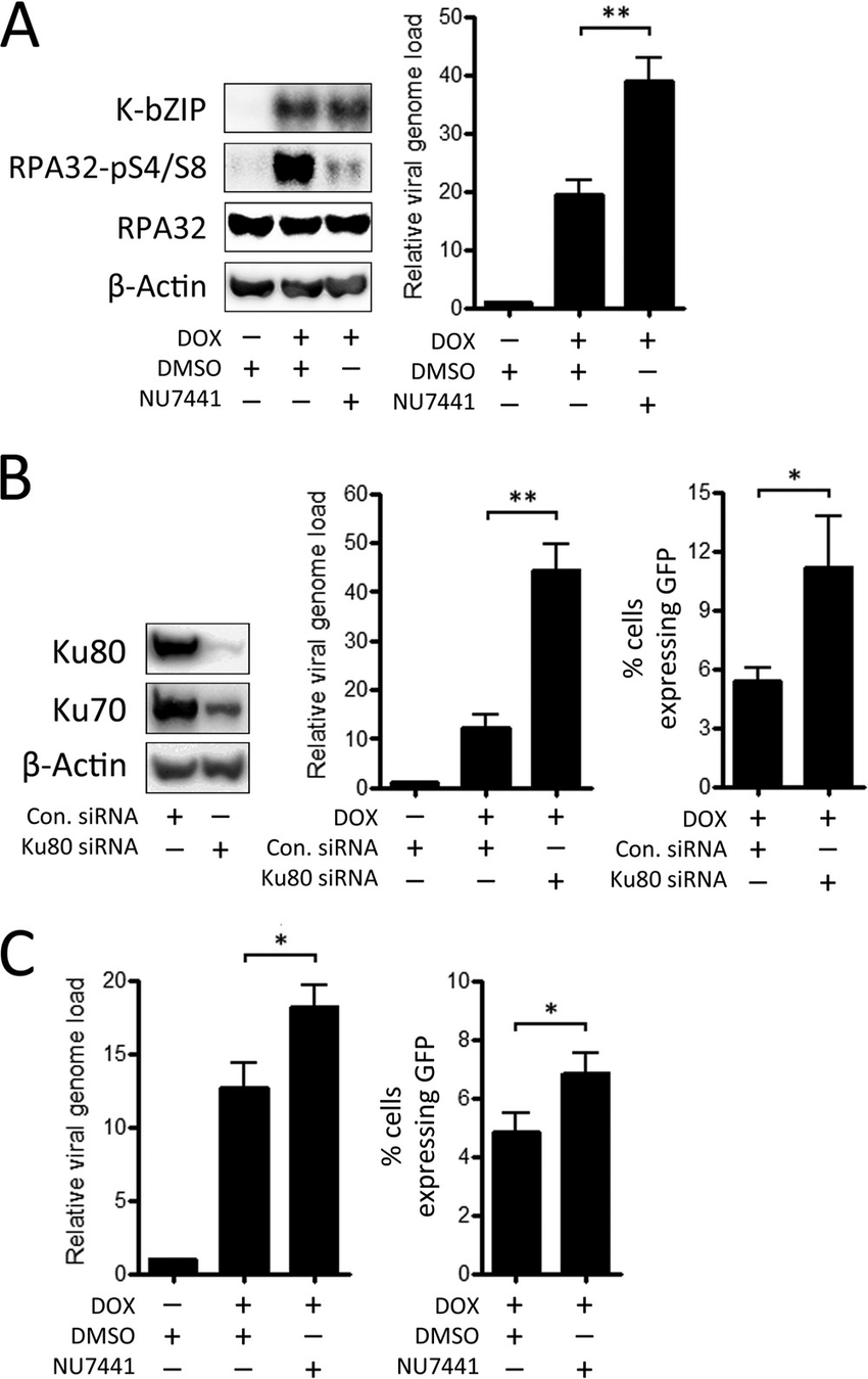 Effect of depletion of Ku80 and inhibition of DNA-PK