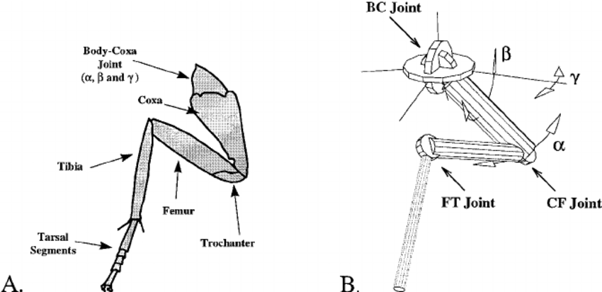 A) Diagram of a cockroach front leg with segments labeled