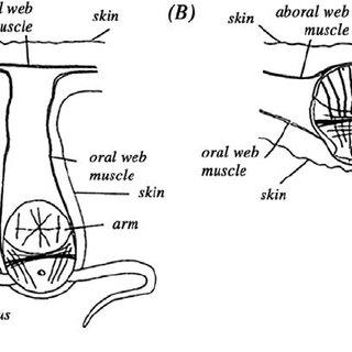 Digestive system of (A) Opisthoteuthis massyae , (B