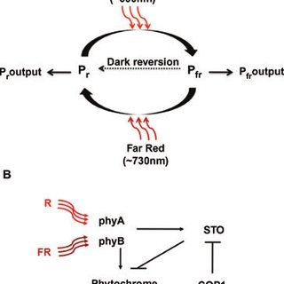 (PDF) The role of phytochromes in stress tolerance