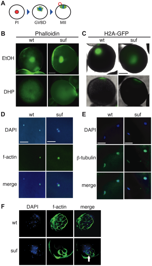 small resolution of suf is not essential for meiosis but mitosis a steps of meiotic