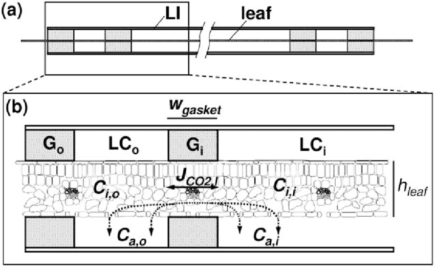 inside of a leaf diagram amana washing machine parts schematic drawing diffusion pathways homobaric when download scientific