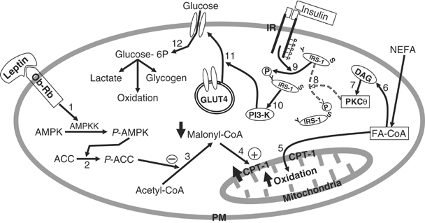 Schematic model of the direct effects of leptin on glucose