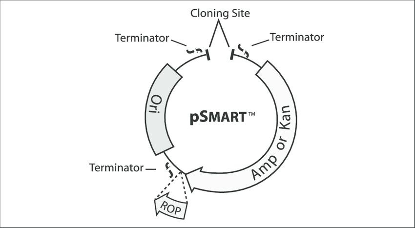 1. Schematic diagram of pSMART vectors. The pSMART vectors