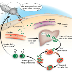 Human Life Cycle Stages Diagram Potentiometer Sensor Wiring Schematic Of Malaria In Humans Sporozoites Are Injected Into Dermis Through The Bite Infected Anopheles Mosquito