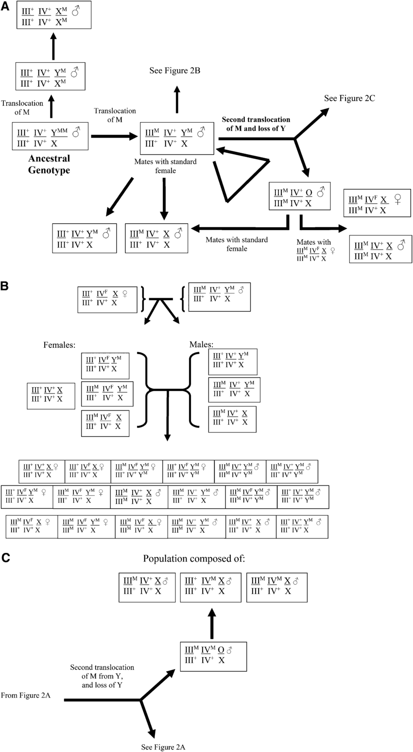 hight resolution of schematic representation of the evolution of changes in the linkage of m and frequency of f md tra d in the house fly m domestica