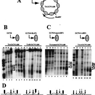(PDF) Comparison of ABF1 and RAP1 in Chromatin Opening and