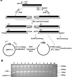 schematic diagram of cloning the gene of interest containing internal download scientific diagram [ 850 x 933 Pixel ]