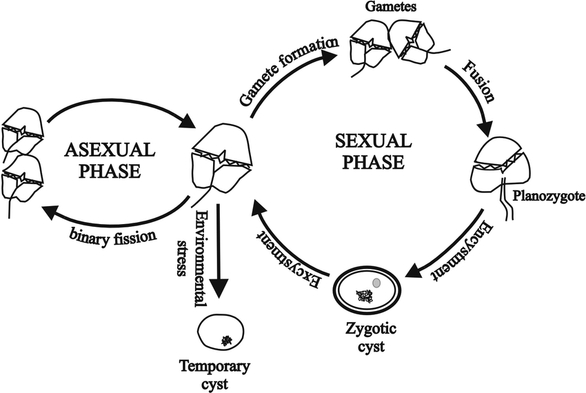 Representative life cycle of a free-living dinoflagellate