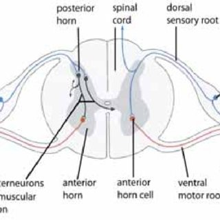 The peripheral nervous system includes the peripheral