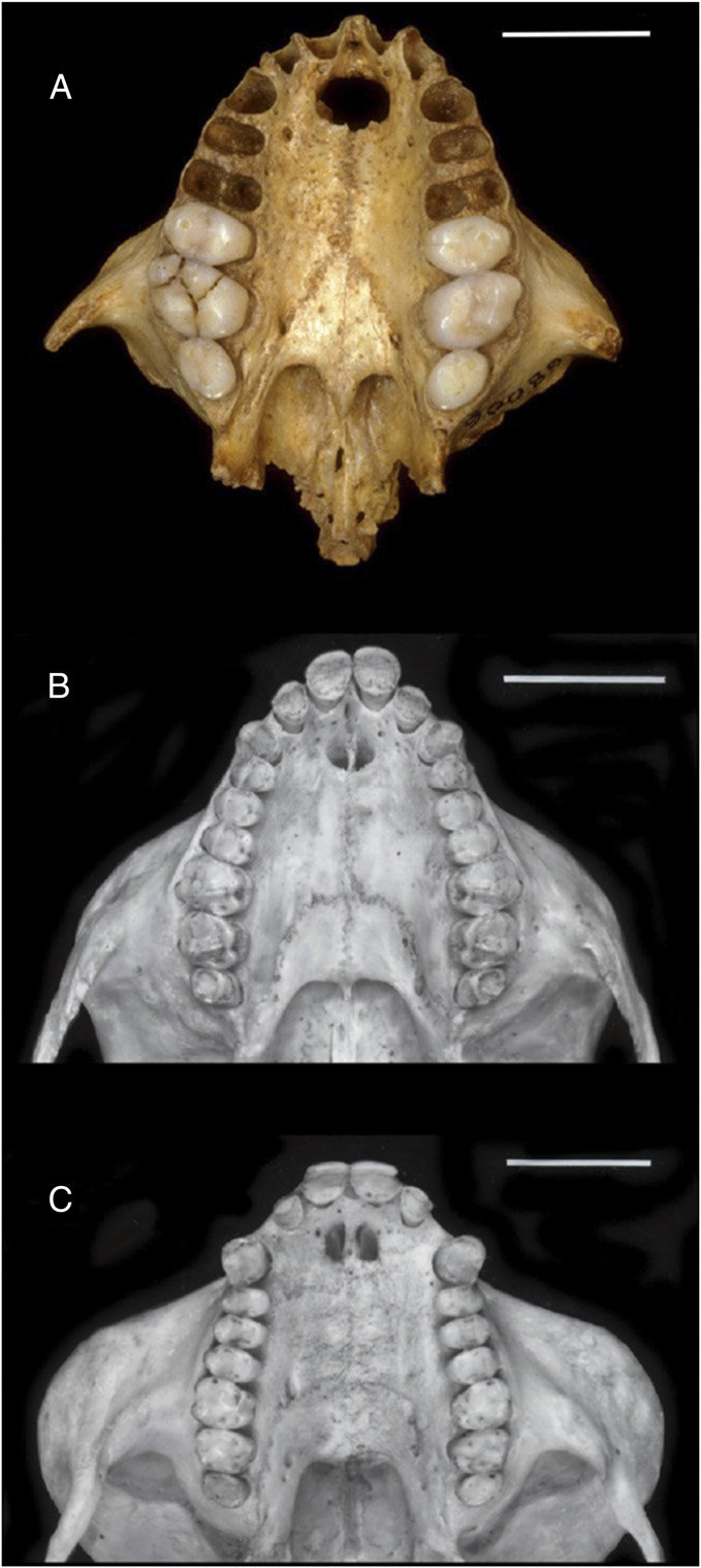 hight resolution of upper dentitions of platyrrhine monkeys comparing a the most complete known skull of