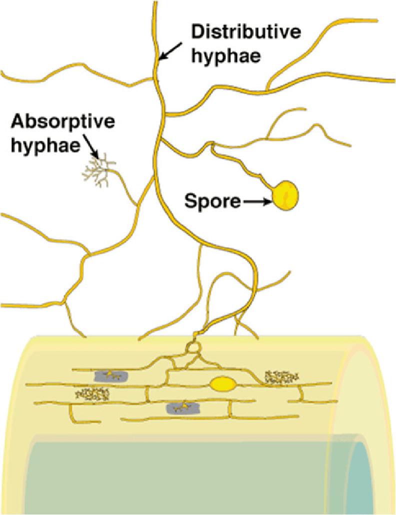 medium resolution of external hyphae
