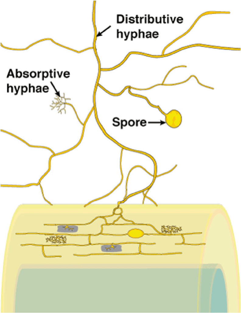 hight resolution of external hyphae